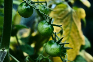 Tomaten pflanzen, Pflanzzeitpunkt